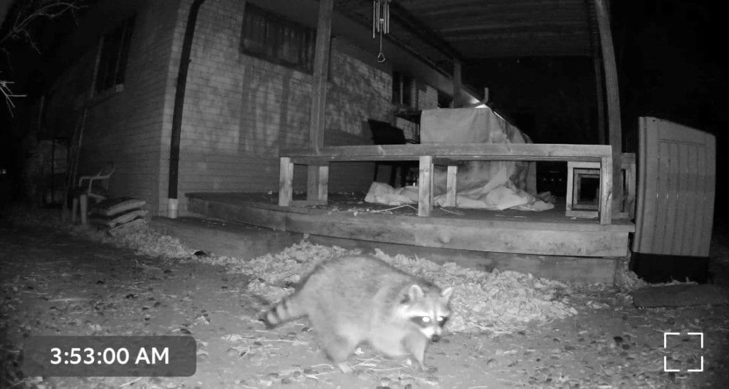 Raccoon captured on my Ring camera at night