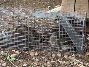 Two raccoons in one trap - well I guess I learned something