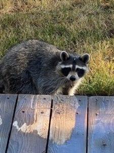 Raccoon at my deck