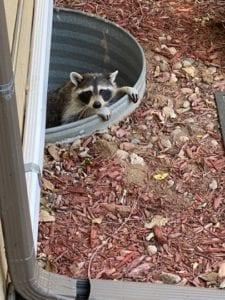 Raccoon in my window well